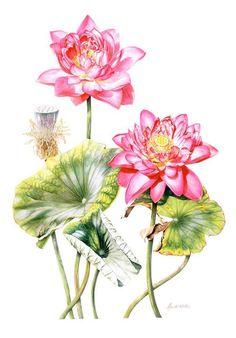 Sacred Lotus  Sacred Lotus. Heidi Willis Watercolour 52x69cm / 20.5 x 27 inch Shirley Sherwood Collection