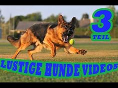 Very interesting post: German Shepard - 42 Pictures. Also dompiсt.сom lot of interesting things on Funny Dog. Funny Dogs, Funny Animals, Dog Pin, Funny Dog Pictures, Shepherd Dog, Collie, Best Dogs, Dogs And Puppies, German Shepherds