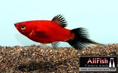 Red Wag Pin tail Platy. These are my Favorite fish when I was a Kid. I had Many of them.