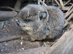 """no i did not specifically search pinterest for """"baby hyrax"""" why would you even say that"""