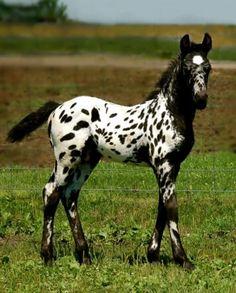 What a beautiful leopard Appaloosa foal.