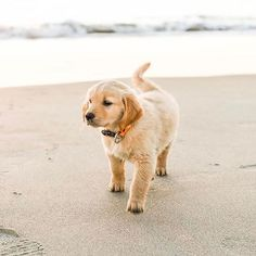 Seaside eye candy, courtesy of via Cute Puppies, Cute Dogs, Dogs And Puppies, Doggies, Baby Animals, Cute Animals, Orange Kittens, Cutest Dog Ever, Surfing Pictures