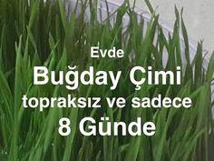 Buğday çimi her derde deva ! Sadece 8 günde yetişiyor hem de toprak bile...