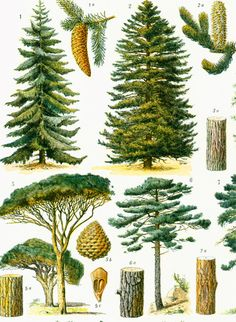 1933 Antique Conifer Trees print, Forest Broad-leaved Trees, Country decor, wall art home decor Illustration Botanique, Plant Illustration, Botanical Illustration, Botanical Drawings, Botanical Prints, Leaf Identification, Picture Tree, Conifer Trees, Antique Prints