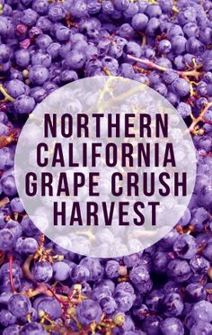 Northern California Grape Crush Harvest