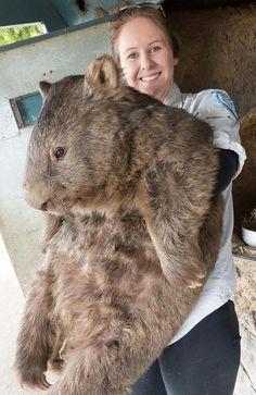 A little camera shy. Picture: Ballarat Wildlife Park. Australia's oldest wombat turns 29.
