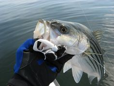 Stripers love these lures