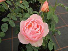 Englische Rose The Shepherdess ® Austwist ® Züchter David Austin 2005