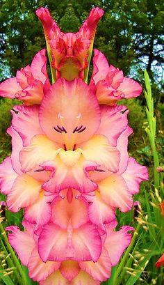 Resultado de imagem para gladiolus