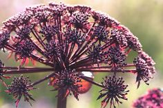 Angelica gigas -