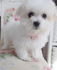 Bella got a BATH (12 week old Maltese)