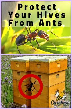 Tips For Gardening Ants can be a major pest in bee hives. Learn some tips for how to keep ants out of your bee hive. Ant Problem, Bee Hive Plans, Beekeeping For Beginners, Raising Bees, Bee Boxes, Bee Hives Boxes, Backyard Beekeeping, Busy Bee, Bees Knees