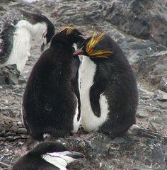 Macaroni Penguins allopreening