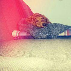 Leo ♥s naps. Leo ♥s Brooklyn.  Red Apricot MiniaturePoodle.