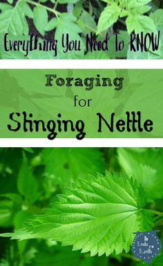 Stinging Nettle Foraging for Wild Edibles can save you money while putting nutritious food on the table. Learn Where to find Stinging Nettle, When to harvest, How it Grows in our Comprehensive Foraging Guide https://theendsoftheearthblog.com/stinging-nettle/