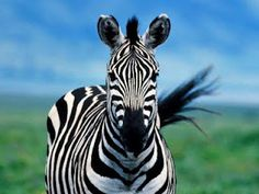 A great little blog with facts about Zebras.  Personally, I just love this pic!
