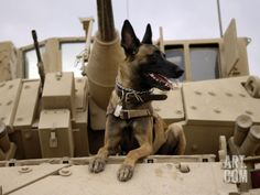 US Air Force Military Working Dog Sits on a US Army M2A3 Bradley Fighting Vehicle Photographic Print by Stocktrek Images at Art.com