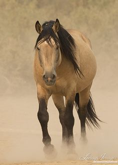Bugs a gorgeous buckskin wild stallion living in the Sand Wash Herd area of Colorado by Living Images