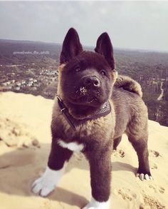 My first time at the Dune du Pilat Dog Akita american akita