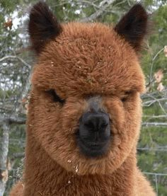 Alpaca or ewok? by Walnut Creek Alpacas Animals Of The World, Animals And Pets, Funny Animals, Cute Animals, Smiling Animals, Alpacas, Beautiful Creatures, Animals Beautiful, Before And After Photoshop