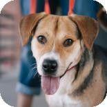Richmond, VA - Beagle/Hound (Unknown Type) Mix. Meet Porter a Dog for Adoption.