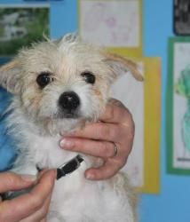 Paxton (Teddy): Male Jack Russell Terrier mix, 1 year old. For more information please visit wishbonecaninerescue.org