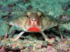 No more lipstick left?? What shall I do from now on?! Red-lipped batfish