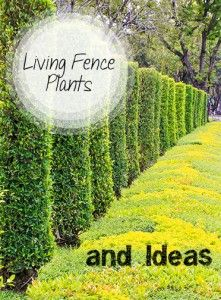 Living Fence Plants and Ideas. Great ideas for fences made of plants, shrubs and bushes.
