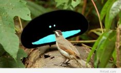 Superb Bird of Paradise