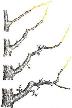 Rez jablone: Poradíme vám, ako postupovať, keď tvarujete štíhle vreteno Bonsai Fruit Tree, Bonsai Tree Care, Mini Bonsai, Fruit Trees, Bonsai Pruning, Tree Pruning, Garden Landscape Design, Garden Landscaping, Tree Diagram