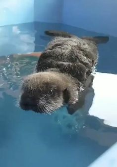 Cute Little Animals, Cute Funny Animals, Cute Cats, Cute Animal Photos, Cute Animal Videos, Baby Sea Otters, Tier Fotos, Cute Creatures, Animal Memes