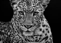 The wildlife + wild place artwork by Central WI based artist, Melissa Helene. Artwork by request and commission. Black And White Artwork, Black And Grey, Scratchboard Art, Scratch Art, Wildlife Art, Art Festival, Beautiful Cats, Pet Portraits, Art Boards