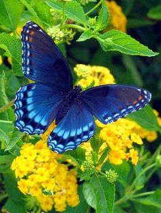 Isn't the contrast of the this Monarch blue Butterfly and the yellow Blooms gorgeous? God's amazing creation!