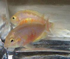 1 Pair Pink Convict Cichlid For Live Freshwater Aquarium Fish