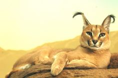 This Cat Is Known As A Caracal And It Just Might Be The Cutest Animal You