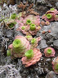 Stars SoCal Succulents and Cactus: Aeoniums and  Echeveria setosa -- tough guys