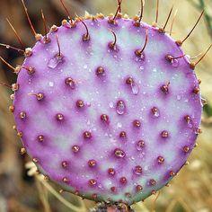 Prickly-pear cactus after rain, via Flickr.