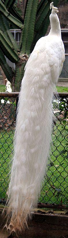 Pavão branco