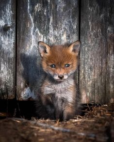 How cute is this Red Fox Cub? Nature Animals, Animals And Pets, Wildlife Nature, Beautiful Creatures, Animals Beautiful, Cute Baby Animals, Funny Animals, Vida Animal, Pet Day