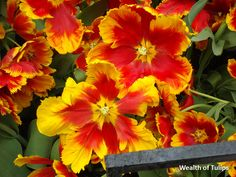 Parrot Tulips, Red Tulips, How To Find Out, Bloom, Team Player, Make It Yourself, Circles, Fails, Green