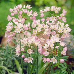 Flowering Onion Seeds Allium Roseum Bulbiferum Seeds Exotic Rosy Garlic Flowers Onion Rose Colour Giant Allium Giganteum Pompon Quick Facts Common Name: Flowering Onion Hardiness Zone: S / W Height: 10 Deer Resistant: Yes Expos. Allium Flowers, Cut Flowers, Planting Flowers, Fall Planting, Garlic Flower, Organic Weed Control, White Flower Farm, Landscaping Tips, Lawn Care