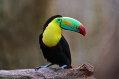 Toucan on the wood