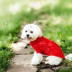close up portrait of pretty sweet small little dog white Maltese terrier in red pullover outdoor dress   .  Posted by : @friendlymaltese  Follow me to see more nice picture   Thank you so much ☝️☝️ Tag someone who you'd want to share this photo with Beautiful   All about Friendly Maltese Dogs for dog lovers @friendlymaltese   ⤵ Double tap & tag your friend Love it   ❤❤❤  ❤❤❤  ❤❤❤  #maltese #maltese101 #malteses #malteselover #malteser #maltesegirl #malteseboy #petsagram #pe