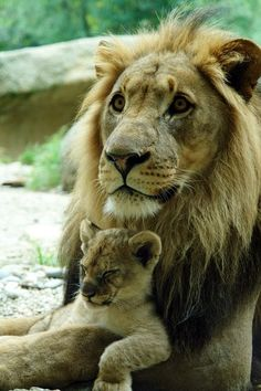 Dad and cub lion...So Precious...For useful information about african safaris, tour operators and safari tours visit www.safaribookings.com