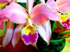 Family favorite... #orchid
