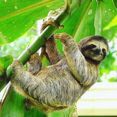A sloth hanging out in Costa Rica.  .