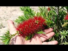 Plants | MACARTHUR™ Callistemon viminalis 'LC01' PBR. Mid Sized Dense Bottlebrush With Masses Of Flowers. Macarthur was bred from Captain Cook and Little John, providing a more compact, better flowering Callistemon. It has a tidy, bushy growth habit. Click on this link for more info on MACARTHUR… http://www.bestplants.com.au/native-shrubs-groundcovers/macarthur.html
