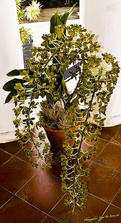 How To Keep Orchids Alive And Looking Gorgeous Strange Flowers, Unusual Flowers, Amazing Flowers, Beautiful Flowers, Orchid Planters, Orchids Garden, Rare Orchids, Dendrobium Orchids, Orquideas Cymbidium