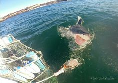 In the cage or on deck, our white shark conservation volunteers see some incredible action.