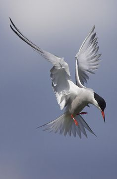 Common Tern - Not much common about them! Beautiful acrobats, great fun to watch when hunting for little fish! 05/31/14